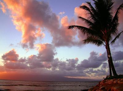Apricot Palm Tree